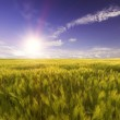 Wheat field in the rays of the bright daylight sun — Stock Photo #53944473