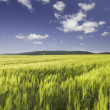 Wheat field under a blue cloudy sky and mountain range on the ho — Stock Photo #53944475