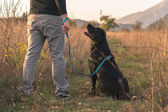 Black Labrador looking Up At Owner — Stock Photo