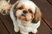 Dog Shih Tzu — Stock Photo