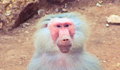 Baboon Monkey chilling in the zoo — Stock Photo