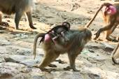 Pavián opice chlazení v zoo — Stock fotografie