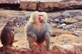 Baviaan aap koelen in de dierentuin — Stockfoto