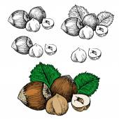 Nut filbert — Stock Vector