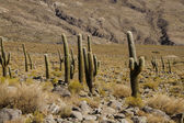 Cactus on the route — Stock Photo