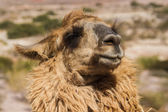 Llama in the mountains of Northwest Argentina — Stock Photo