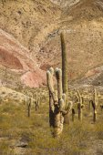 Plain of cacti  in the national park Los Cardones in Salta — Stock Photo