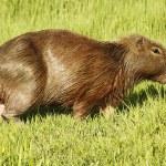 Capibara Grazing in Ibera Marshes — Stock Photo #66219017