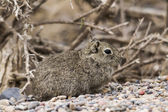 Leaster cavy under a bush — Stock Photo