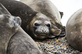 Elephant-seals resting — Stockfoto