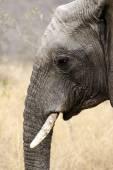 Head of elephant — Stock Photo