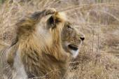 Thre years old LIon resting on the grass — Stock Photo