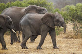 Elephants walking — Stock Photo