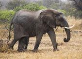 Elephant female — Stock Photo