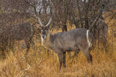 Waterbuck grazing in the bushes  — Stock Photo