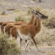 Aligned group of guanacos — Stock Photo #69345167