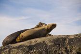 Zeeleeuw Kolonie in Zuid-Amerika — Stockfoto
