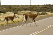 Guanaco crossing the route — Stock Photo
