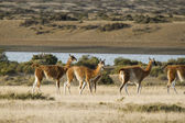 Harem of guanacos in Peninsula Valdes — Stock Photo
