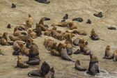 Sea Lion colony — Stock Photo