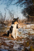 Tricolour sheltie sitting — Stock Photo