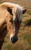 Iceland, Horses — Stock Photo
