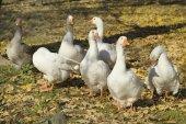 Zoology, Goose — Stock Photo
