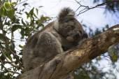 Australien, Zoology — Stock Photo