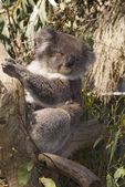 Australien, Zoology, — Stock Photo