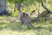 Zoology, Kangaroo — Stock Photo