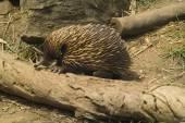 Australia Zoology — Stock Photo