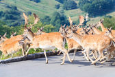 Herd of Fallow Deer (Dama dama) — Стоковое фото