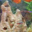 Aquarium fish neon and snail — Stock Video #67157045