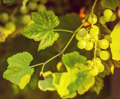 Ripe grapes on vine — Stock Photo