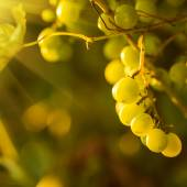 Ripe grapes on vine — Stockfoto