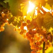 Ripe grapes on vine — Stok fotoğraf