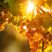 Ripe grapes on vine — Stockfoto