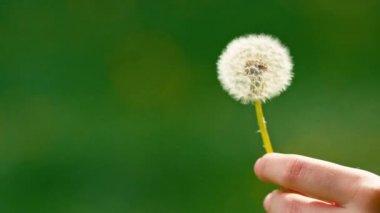Dandelion seeds flying away — Stock Video