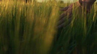 Hand running through wheat field — Stock Video