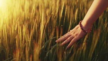 手の麦畑を走る — ストックビデオ