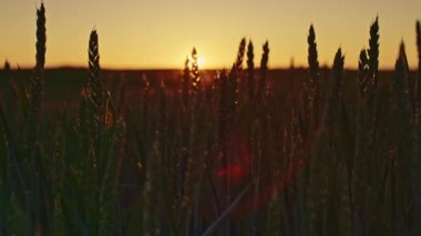 Beautiful dawn and wheat ears — Stockvideo