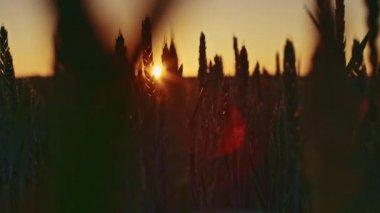 Beautiful dawn and wheat ears — Stock Video
