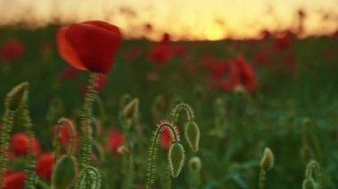 Sunset on poppies field — Stock Video