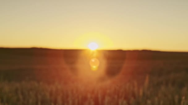 Beautiful dawn and wheat ears — Vídeo de stock