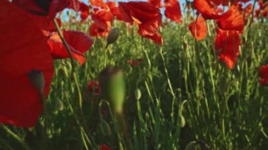Blooming red poppy flowers — Stock Video
