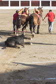 Drag mules are Bull died in the Bullfight to the slaughterhouse  — Stock Photo