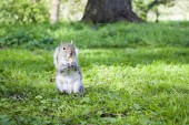 Squirrel eating on the grass — 图库照片
