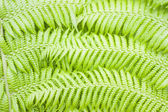Green fern background — Stock Photo