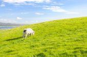 Cow pasturing — Stock Photo