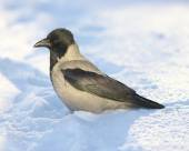 Crow in the snow — Stock Photo